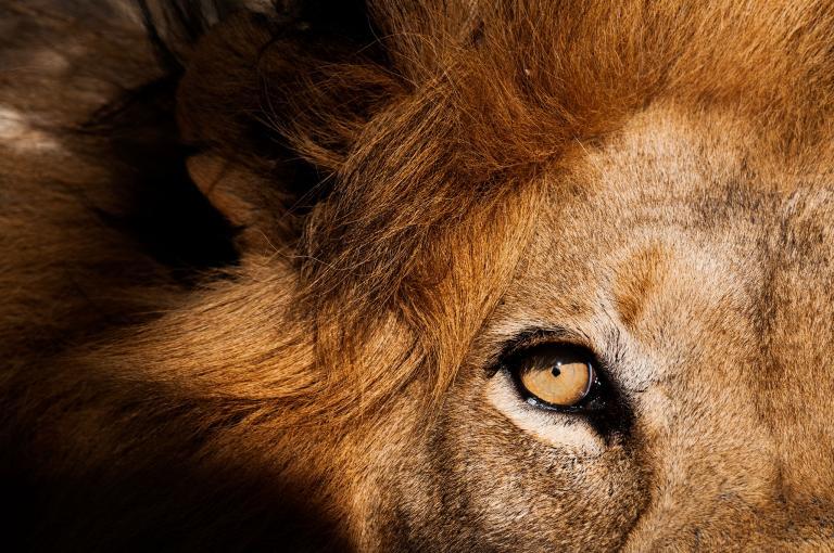 非洲獅(如圖,攝於南非卡帕瑪禁獵區〔Kapama Game Reserve〕)演化成了頂級捕食者,所以只要有機會,就會表現出頂級捕食者的樣子。 Photograph by Sergio Pitamitz, National Geographic Creative