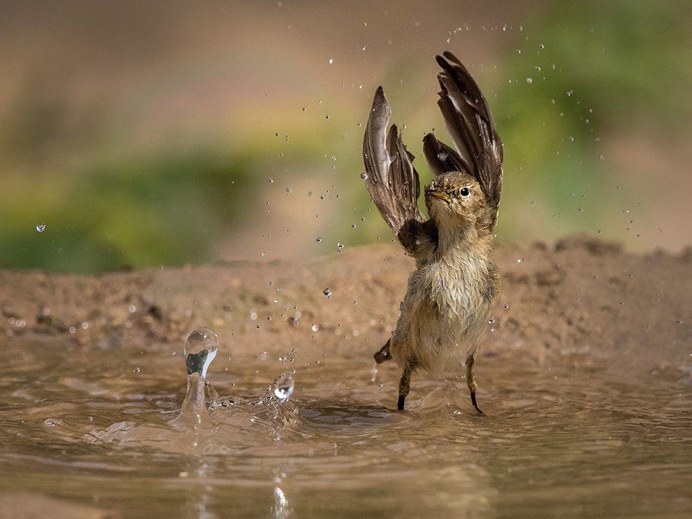 willow-warbler-splashing_90683_990x742