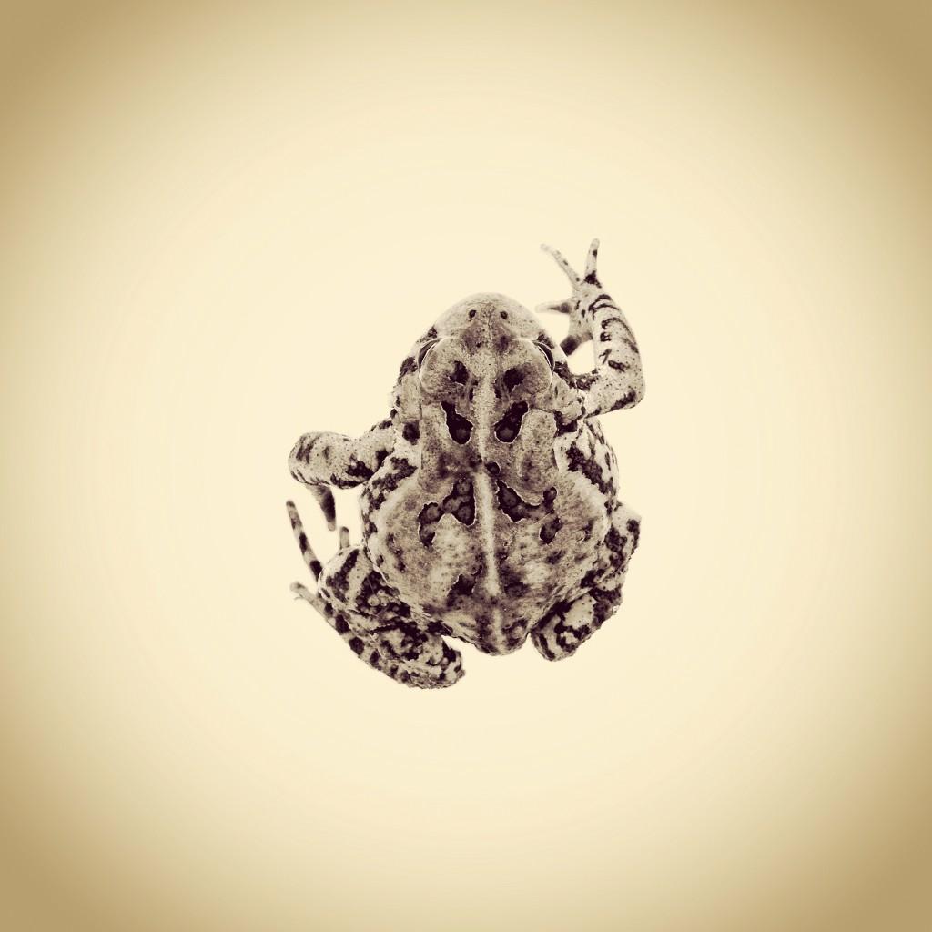 Fowlers Toad, Anaxyrus fowleri