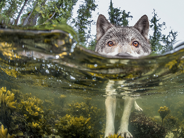 01-wolf-in-lake-615