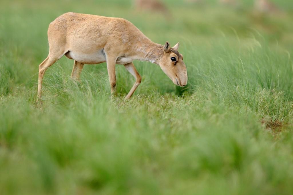2009年,在俄羅斯卡爾梅克共和國(Kalmykia)的Cherniye Zemli自然保護區,一隻雌性大鼻羚在吃草。  PHOTOGRAPH BY IGOR SHPILENOK, WILD WONDERS OF EUROPE