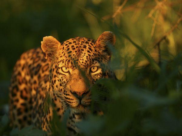 bow-okavango-delta-leopard_92373_600x450