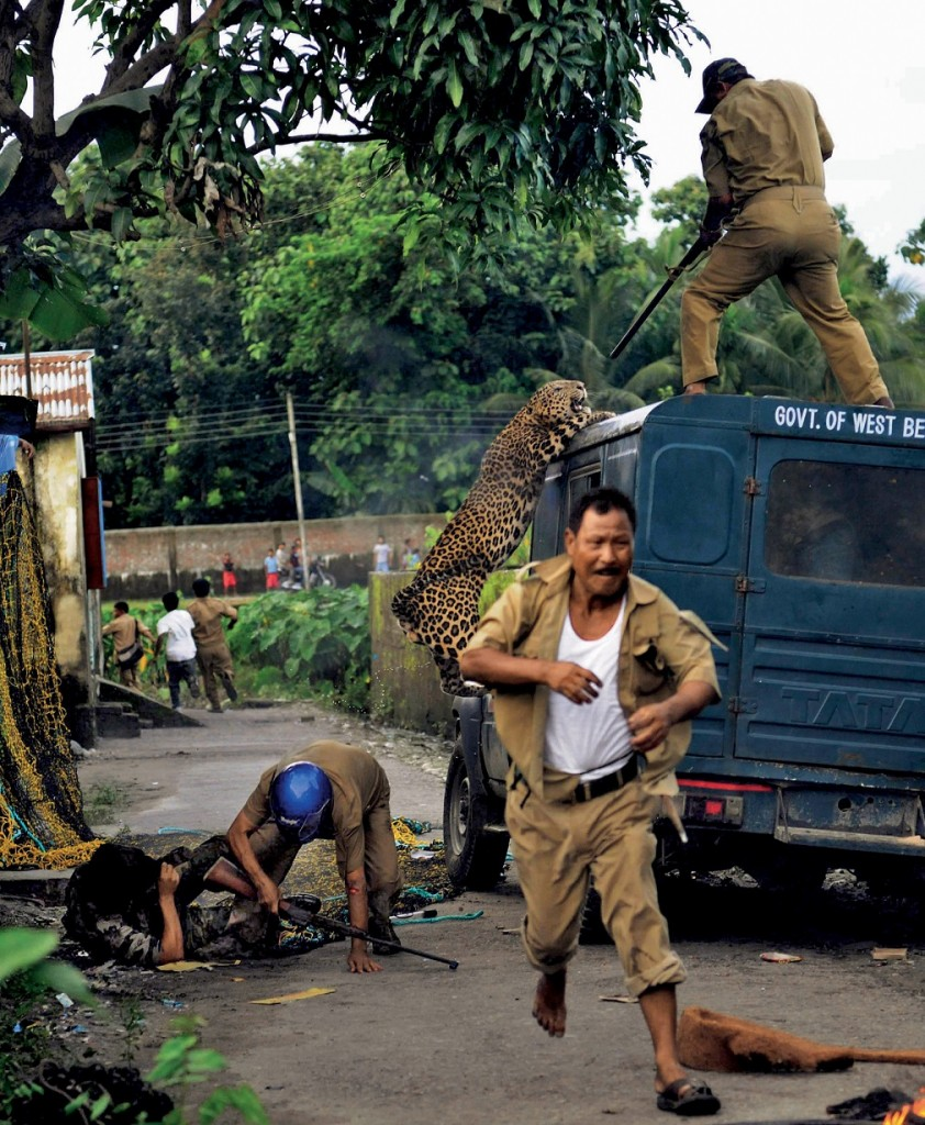 An unidentified forest guard aims his rifle as he is attacked by a wild leopard (Panthera pardus) at Prakash Nagar village near Salugara on the outskirts of Siliguri on July 19, 2011. Six people were mauled by the leopard after the feline strayed into the village area before it was caught by forestry department officials. Forest officials made several attempt to tranquilised the full grown leopard that was wandering through a part of the densely populated city when curious crowds startled the animal, a wildlife official said. AFP PHOTO/Str (Photo credit should read STR/AFP/Getty Images)