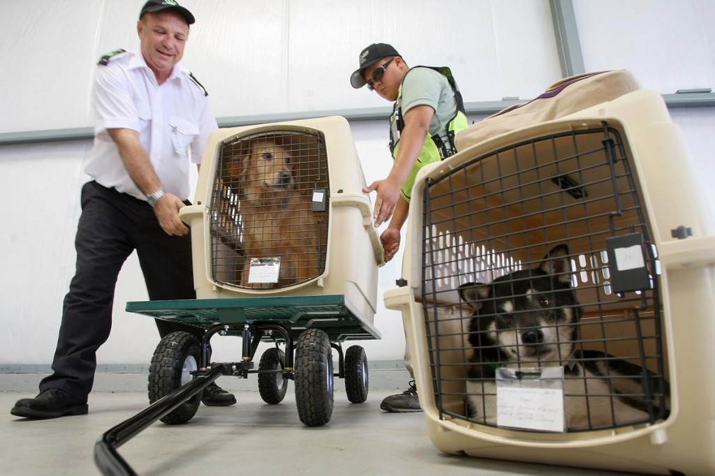 寵物在加州霍桑準備搭乘寵物航空公司(Pet Airways)的處女航;這家航空公司專為寵物服務,自2009年營運至2011年。 PHOTOGRAPH BY DAVID MCNEW, GETTY