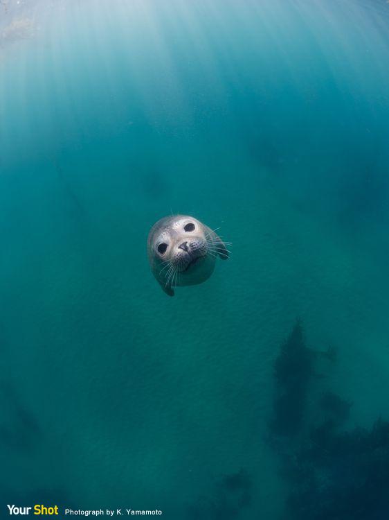 可愛的小海豹在海裡看著攝影師