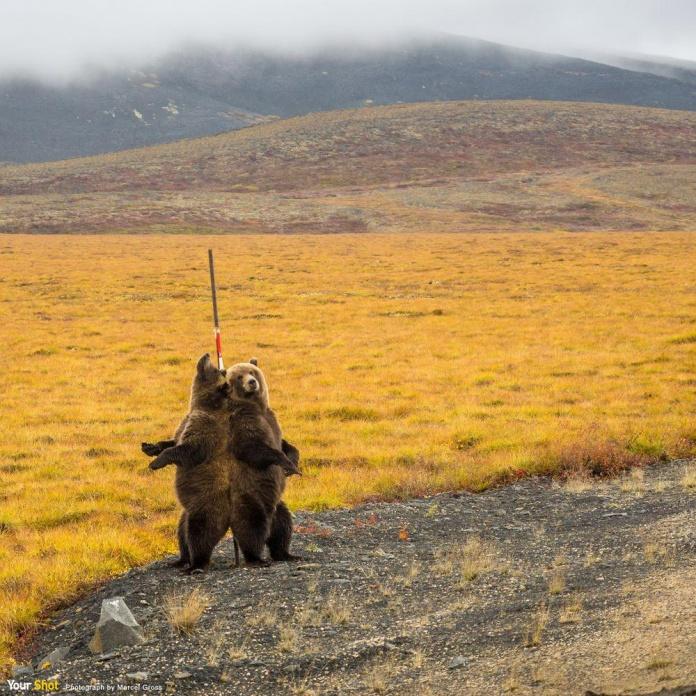兩隻灰熊將背靠在柱桿上抓癢