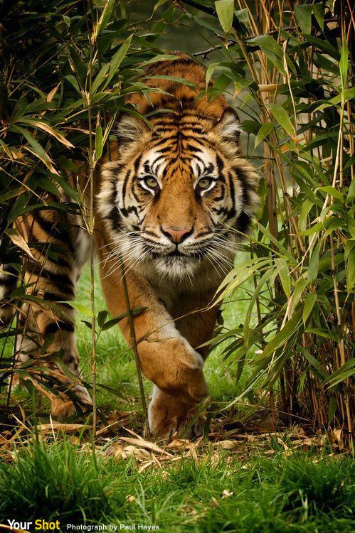 一隻蘇門答臘虎穿越竹叢向鏡頭走來