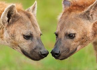母鬣狗因有「假陰莖」,因此雌雄莫辨。