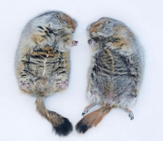 北極地松鼠在阿拉斯加大學費爾班克斯分校冬眠。