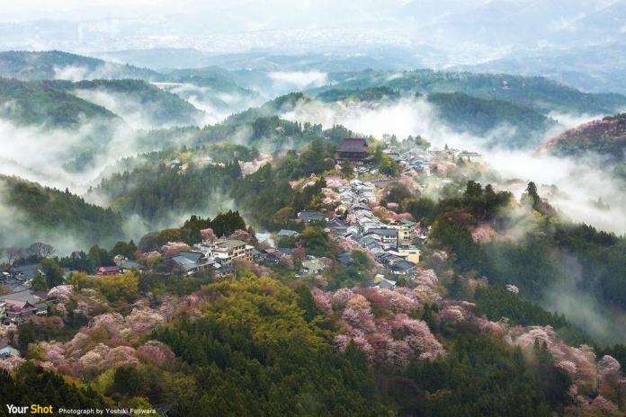 賞櫻名勝奈良縣吉野山櫻花,為為聯合國世界教科文組織認定的世界文化遺產之一