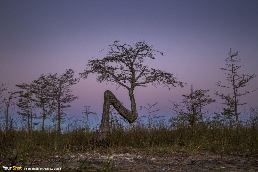 大沼澤地國家公園裡外型奇特的彎彎樹