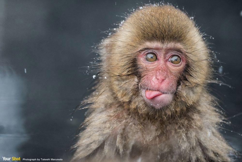 日本長野頑皮的獼猴