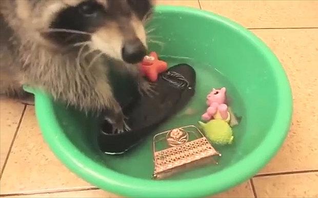 浣熊喜歡洗東西