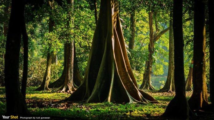 印尼爪哇的茂植物園的老樹