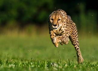 地表最快動物獵豹莎拉已逝。