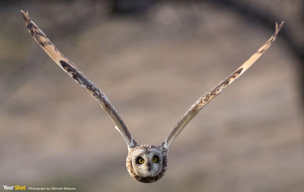 短耳鴞飛翔的姿態