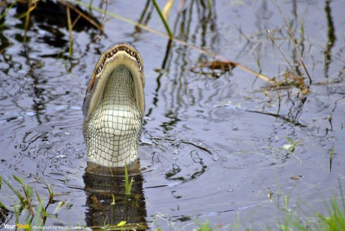 短鼻鱷一口吞下鳥的殘骸