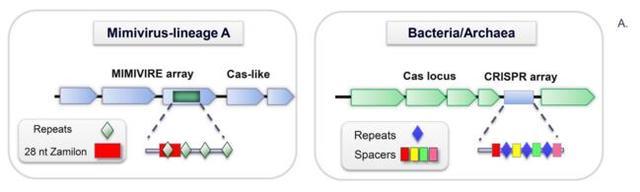 米米病毒免疫系統