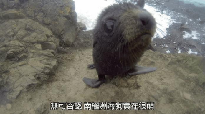 為了了解小海狗有沒有吃飽,科學家都要一一為牠們量體重。