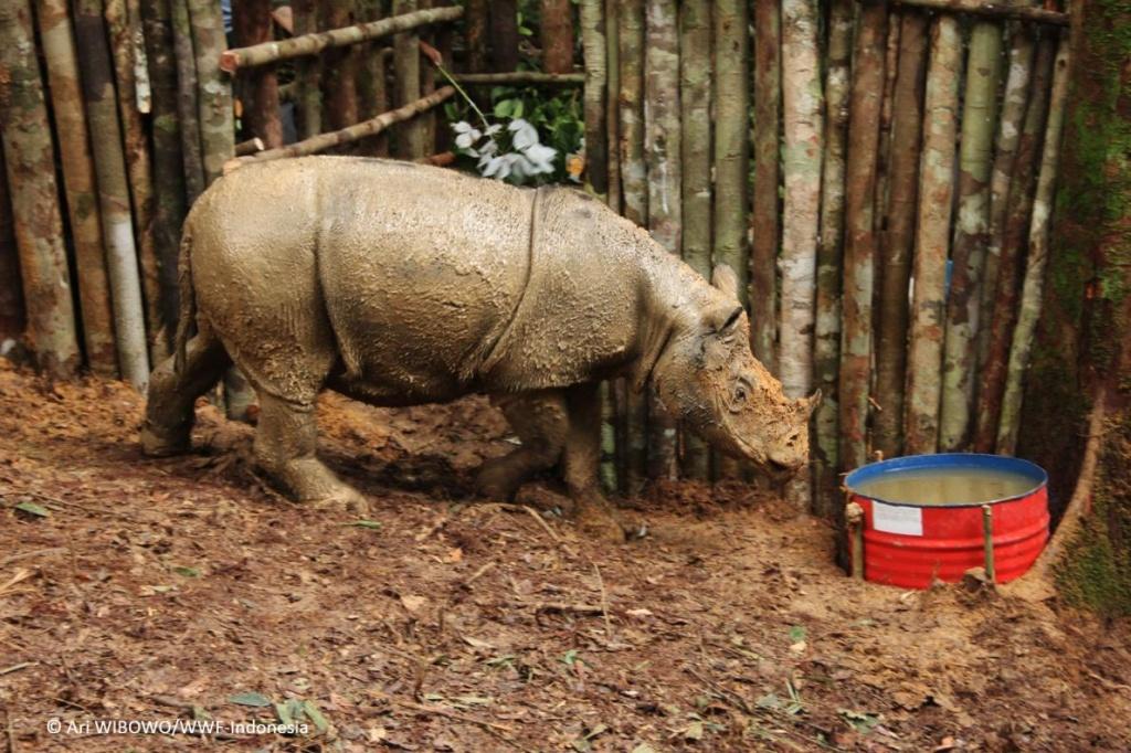 蘇門答臘犀牛