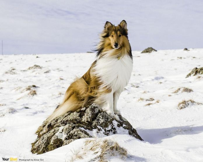 雪地中的喜樂蒂牧羊犬