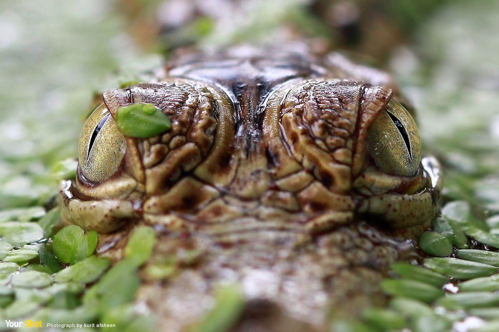 近距離觀察鱷魚的眼睛