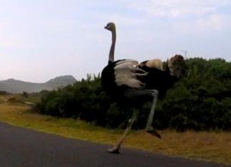 鴕鳥追逐單車騎士。