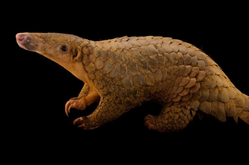 世界上走私最氾濫的哺乳類動物──穿山甲,常被水煮以取得肉和鱗片。美國日前表示將考慮把這些披著重甲的食蟻獸列入《瀕絕物種法》。PHOTOGRAPH BY JOEL SARTORE, NATIONAL GEOGRAPHIC PHOTO ARK