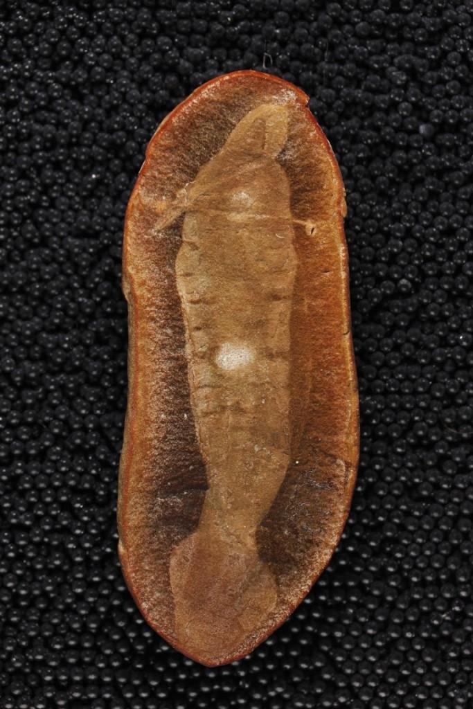 「塔利怪物」(Tully Monster)的模式標本,保存了最佳的形態特徵,包括肌肉分節、眼柄、不對稱的尾鰭,和折疊在身子下方的長嘴。(PHOTOGRAPH BY PAUL MAYER AT THE FIELD MUSEUM OF NATURAL HISTORY)