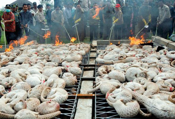 印尼警察正在焚毀查獲的穿山甲肉。大部分的穿山甲被賣到了亞洲,但美國也是非常可觀的市場。