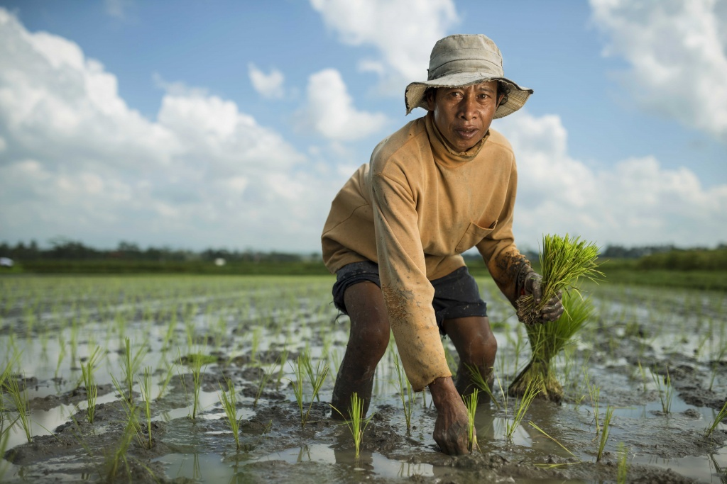 A farmer plants rice in Bali.