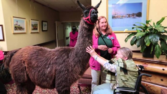 護理之家可愛訪客是駱馬!