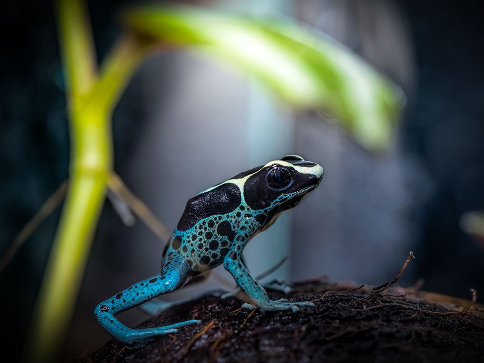 poison-frog-coconut-shell_94543_990x742