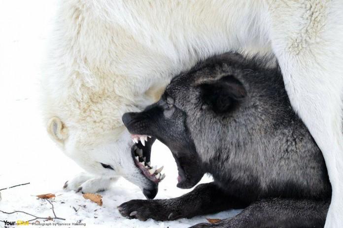兩隻狼狗野性交會