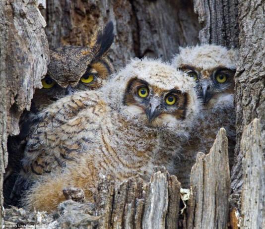 大角鴞媽媽和小鴞寶寶在樹裡