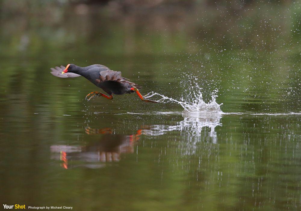 水雞試圖超越牠的腳所踩出來的水花