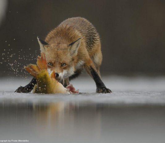 狐狸想要咬住一隻冰封的魚