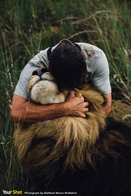 非洲肉食性動物保護區的獅子與人