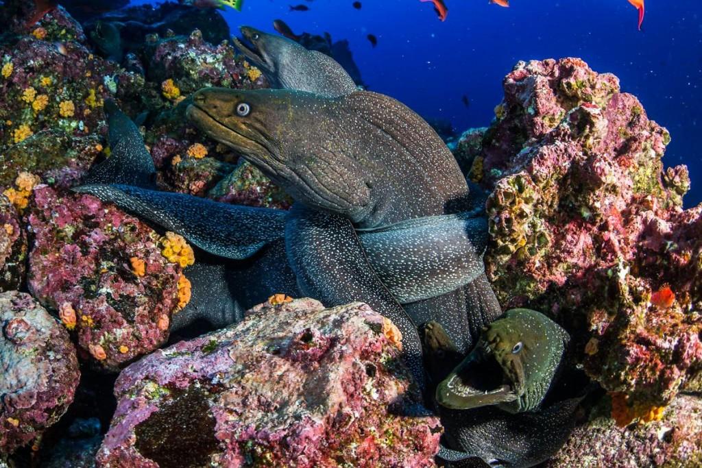 花斑裸胸鯙