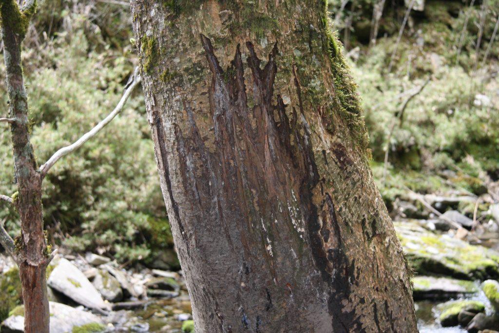 水鹿鹿角摩擦樹幹的痕跡