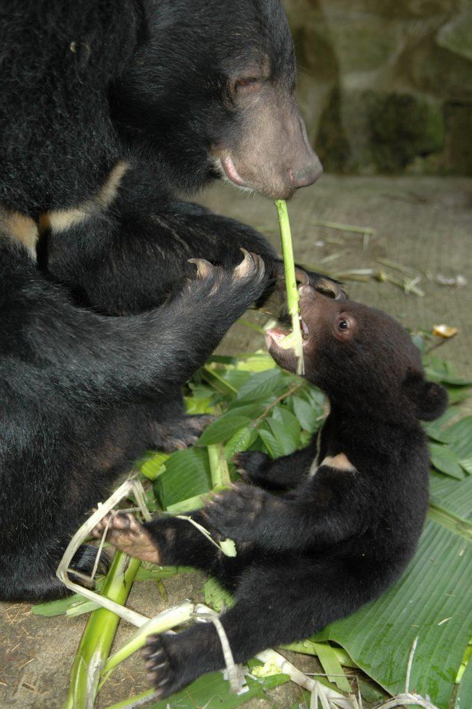 臺灣黑熊於保育上和生態上皆扮演著重要的功用和角色。