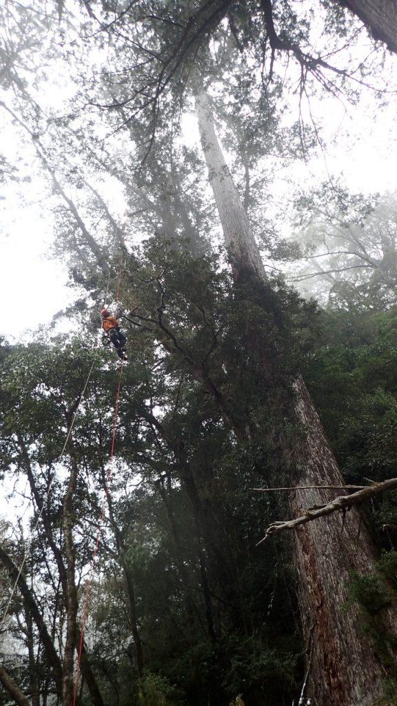 位於將近70公尺高空的台灣杉樹冠層,枝條上的百合豆蘭生長繁茂