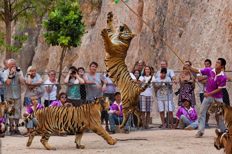 動保人士表示,讓野生動物進行表演以及和人類互動會對動物造成心理壓力。PHOTOGRAPH BY STEVE WINTER, NATIONAL GEOGRAPHIC CREATIVE