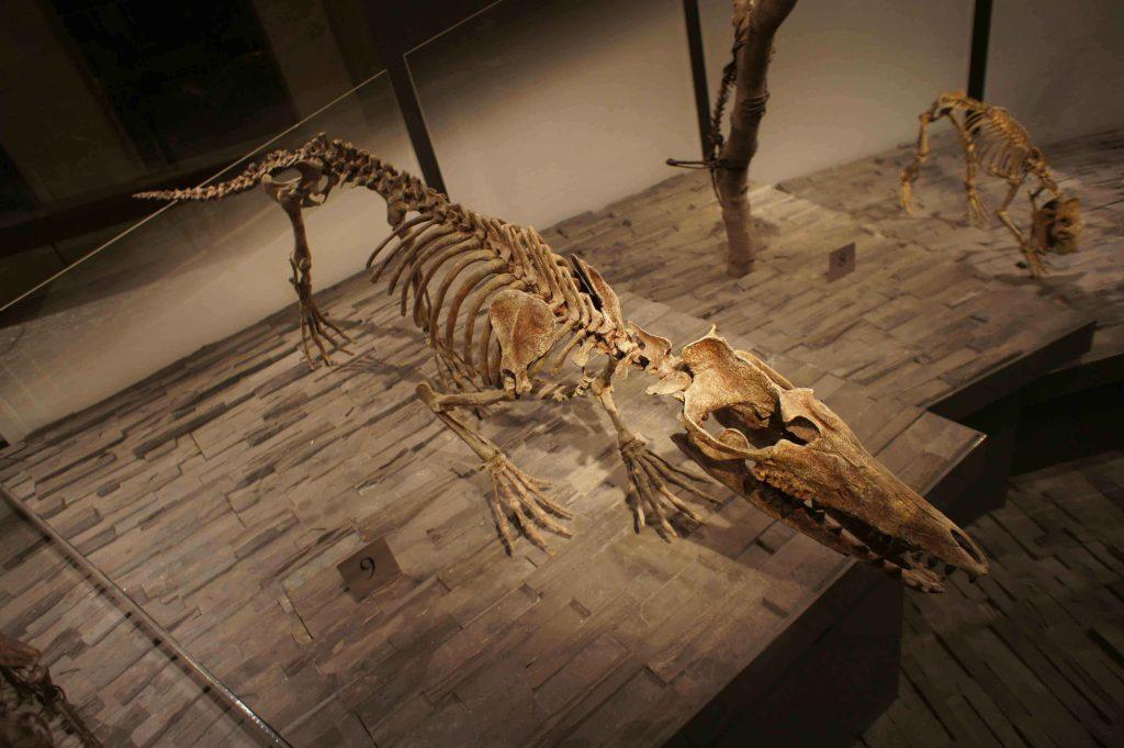 阿塔克巴基鯨(Pakicetus attocki)骨骼複製標本。攝於美國洛杉磯自然史博物館。