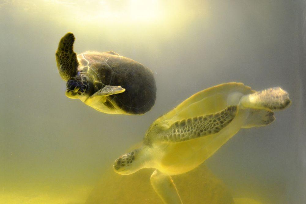 水族館中的海龜