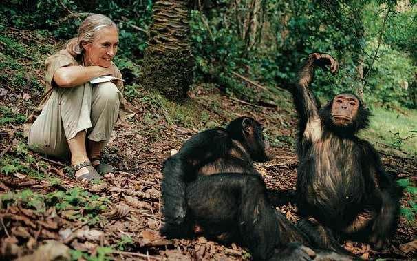 珍古德與黑猩猩