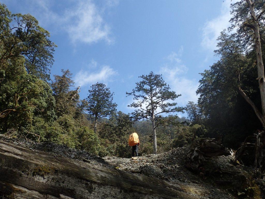 鹿野溪上游的台灣杉純林