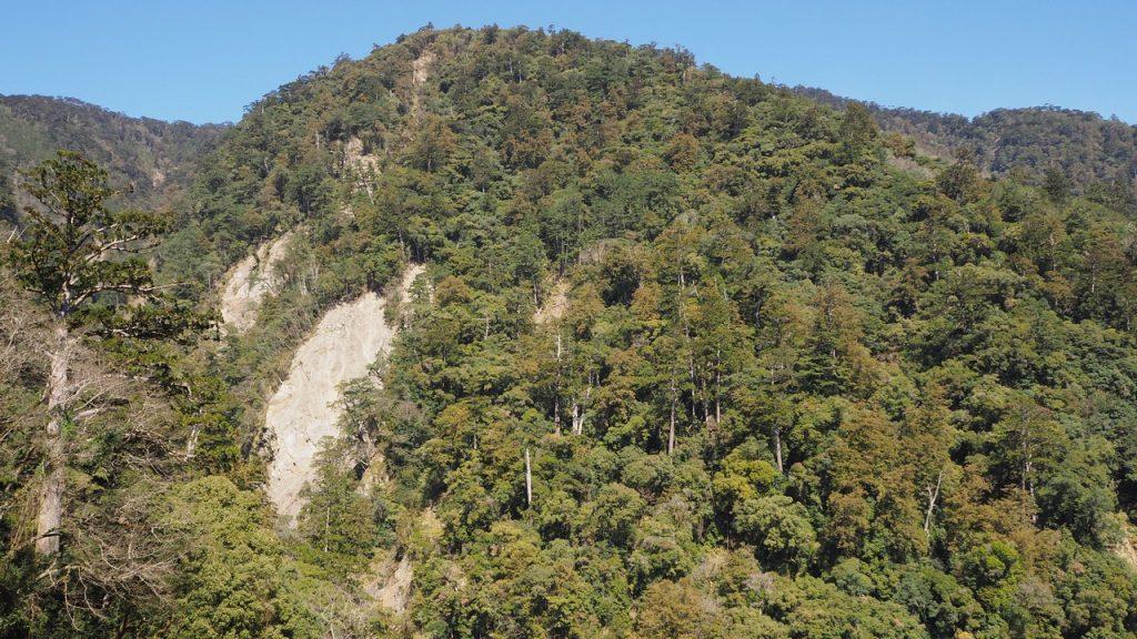 鹿野溪床兩側崩塌地常見台灣杉幼苗