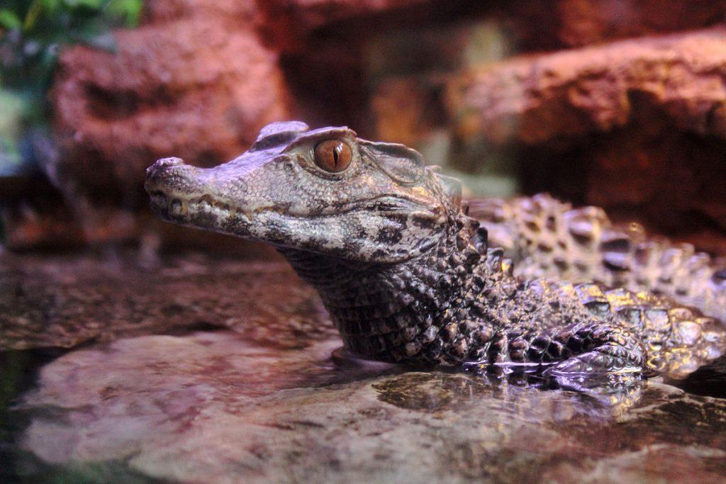 兩種侏儒鱷的體型最大都不會超過170公分,短吻、大眼睛和深邃的棕褐色虹膜是牠們其一特徵,圖為庫氏侏儒鱷(Paleosuchus palpebrosus)。(Source: Wikipedia)