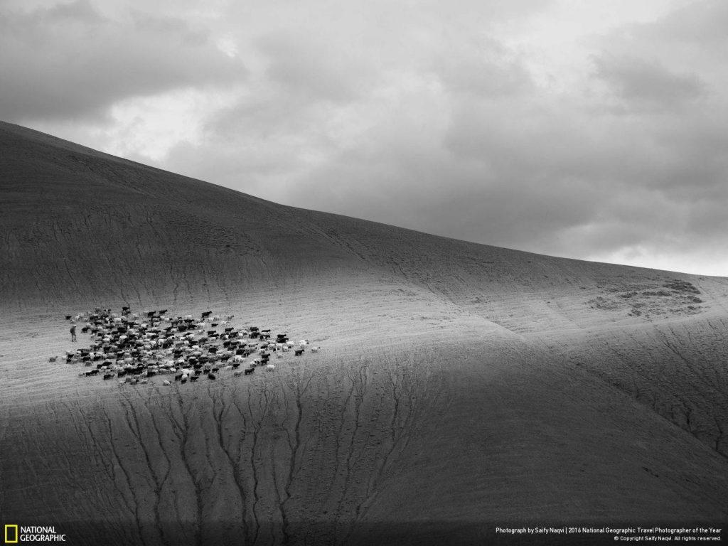 喀什米爾東南部的拉達克,是世界上最崎嶇、最荒蕪的山地之一。這裡的牧羊可生產出世上最好的羊毛。Photograph by Saify Naqvi